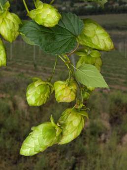 Buy South African Hops