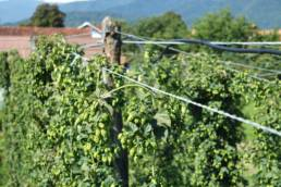 Hops for Craft Beer & Brewing
